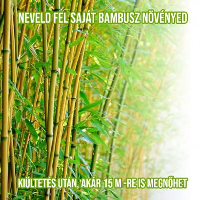 Óriás bambusz növényem fa kaspóban
