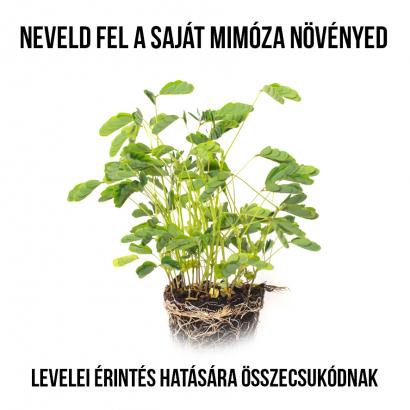Szemérmes Mimóza növényem fa kaspóban
