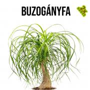 Buzogányfa növényem fa kaspóban