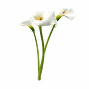 Fehér Kála növényem fa kaspóban