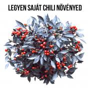 Fekete gyöngy chili paprika növényem fa kaspóban