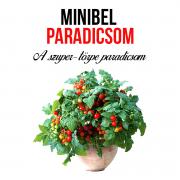 Minibel paradicsom növényem fa kaspóban