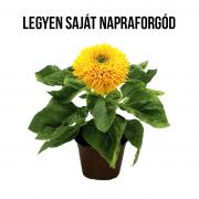 Napraforgó növényem fa kaspóban