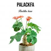 Palackfa növényem fa kaspóban